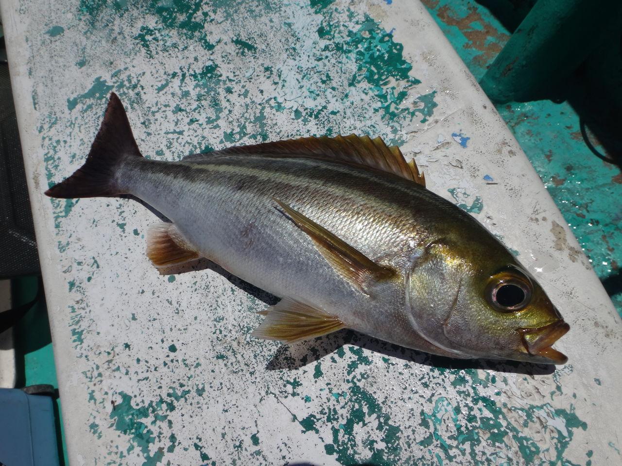 釣りでも食べて人気!淡白な味を味わおうイサキの美味しい料理のサムネイル画像