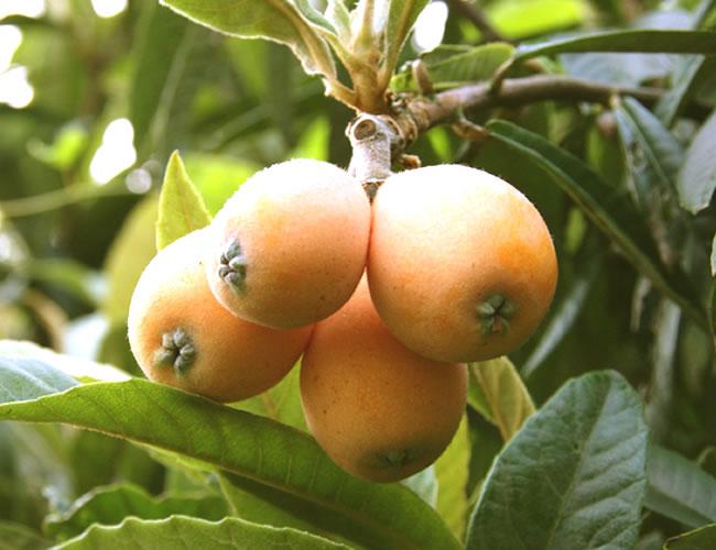 優しい木の実、びわの食べ方☆実も、種も、葉っぱもおいしく♪のサムネイル画像