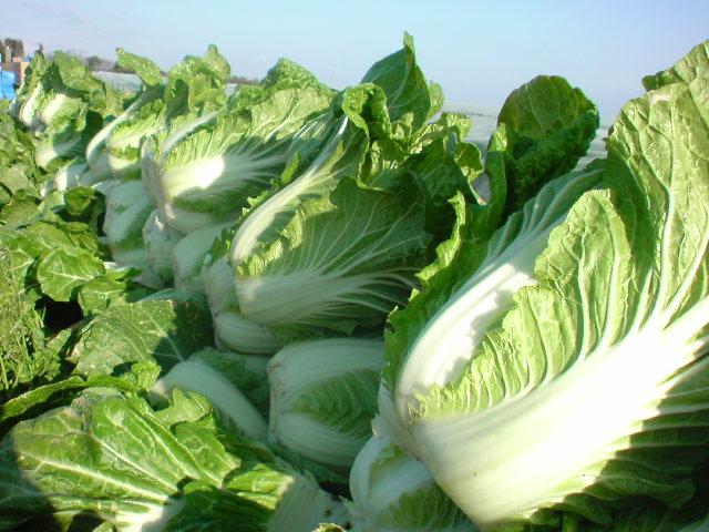 体に良い甘くて美味しい冬の食材「白菜」を使って漬物を作ろう!のサムネイル画像