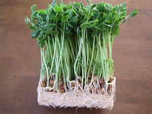 豆苗を使って美味しく料理しよう!豆苗炒めの簡単なレシピ!のサムネイル画像