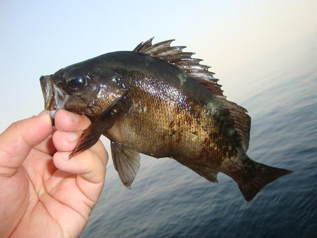 釣りでも人気!サッパリおいしいメバルを使ったおすすめレシピ5選!のサムネイル画像